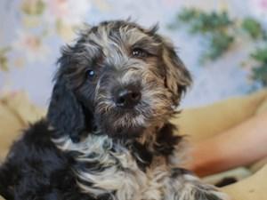 Goldendoodle-DOG-Male--3154747