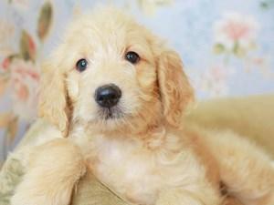 Goldendoodle-DOG-Female--3154754