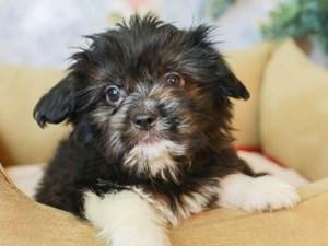 Aussietzu-DOG-Male--3155644