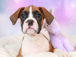 Boxer-DOG-Male--3165517
