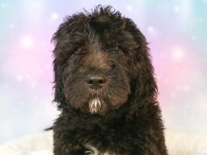 Goldendoodle-DOG-Male--3164211