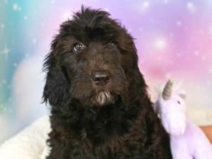 Goldendoodle-DOG-Female--3164212
