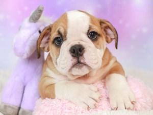 English Bulldog-DOG-Male--3165395