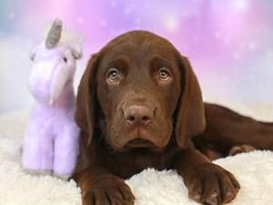Labrador Retriever-DOG-Male--3164468