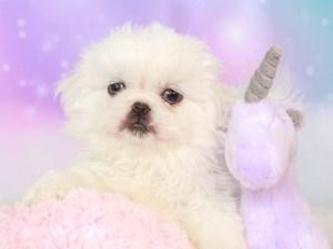Pekingese-DOG-Male--3165361