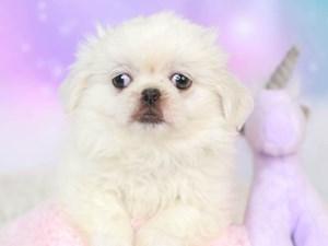 Pekingese-DOG-Male--