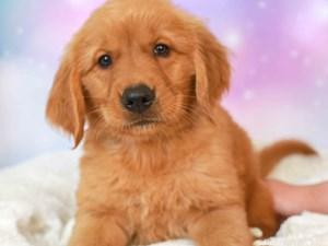 Golden Retriever-DOG-Female--3164322