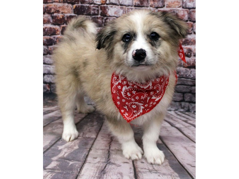 Miniature Aussiemo-DOG-Male-Fawn Merle-3164838
