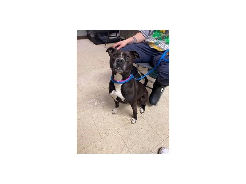 Pit Bull-DOG-Female-Black, White-1583984-img2