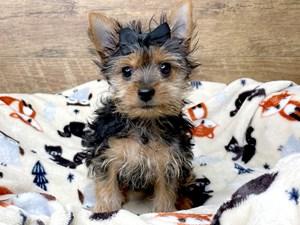 Yorkshire-Terrier-DOG-Female-3163853