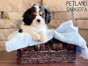 Cavalier-King-Charles-Spaniel-DOG-Male-3166279