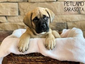Mastiff-DOG-Female-3165959
