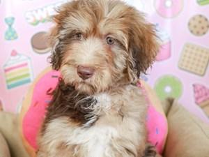 Aussiedoodle-DOG-Female--