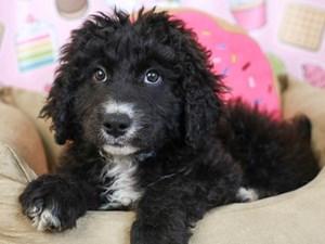 Aussiedoodle-DOG-Male-Black-