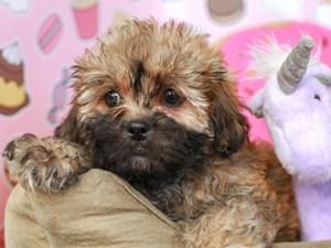 Shih Poo-DOG-Male--