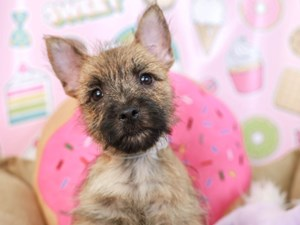 Cairn Terrier-DOG-Male-WHEAT-