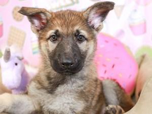 German Shepherd-DOG-Male-SABLE-