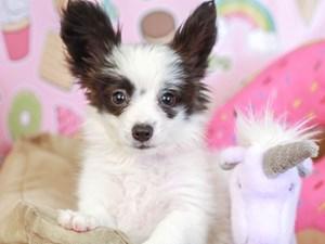 Papillon-DOG-Female--