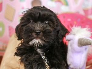 Teddy Bear-DOG-Female-Black-