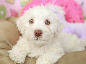 Schnoodle-DOG-Male--