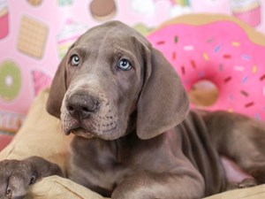 Great Dane-DOG-Male-Blue-