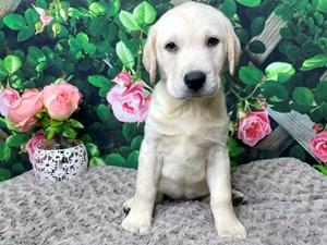Labrador-Retriever-DOG-Male-3171832