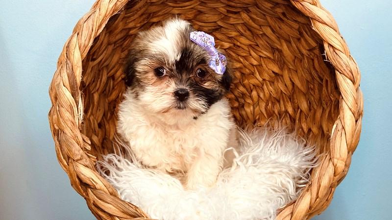 Grand Rapids Havashu Puppies