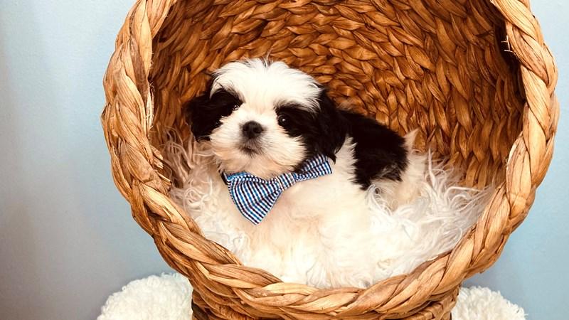 Grand Rapids Shih Tzu Puppies