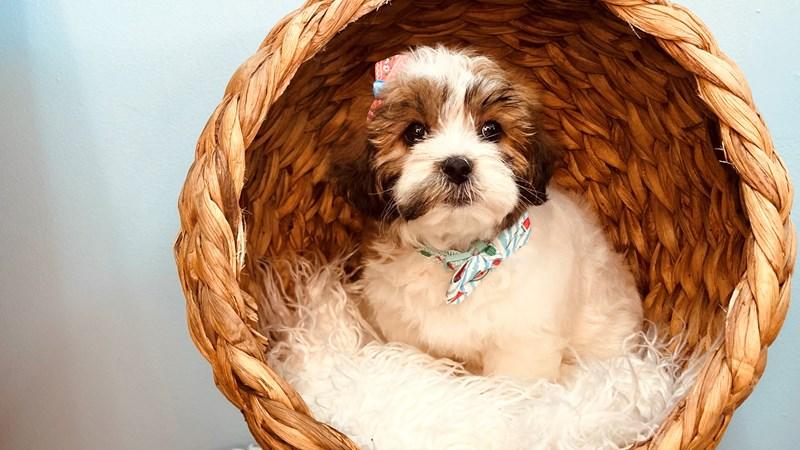 Grand Rapids Shipoo Puppies