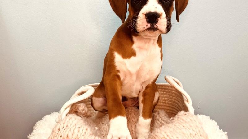 Grand Rapids Boxer Puppies