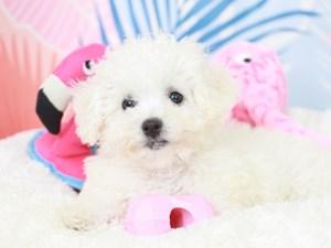 Bichon Frise-DOG-Female--