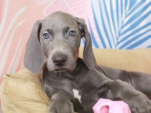 Weimaraner-DOG-Female--