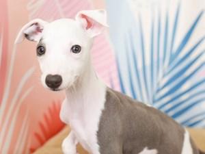 Italian Greyhound-DOG-Female--