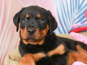 Rottweiler-DOG-Male-BLACK/TAN-