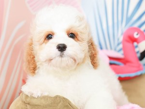 Cavapoo-DOG-Male-RED/WHITE-3183479