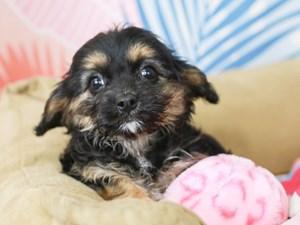 Cavapoo-DOG-Female--3183716