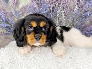 Cavalier-King-Charles-Spaniel-DOG-Female-3191626
