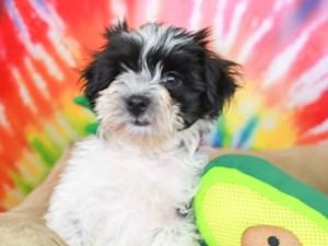 Havanese-DOG-Male-Black and White-