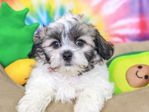 Peketese-DOG-Male--3192636