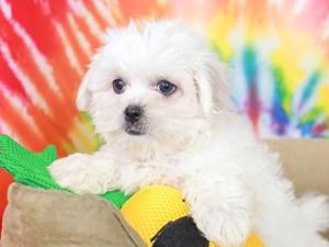 Peketese-DOG-Female--3192638