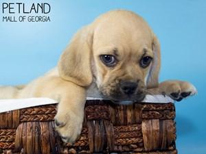 Puggle-DOG-Male-3189628