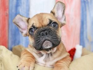French Bulldog-DOG-Male-red blk msk-3201406