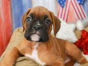 Boxer-DOG-Male-FAWN-