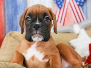 Boxer-DOG-Female-FAWN-