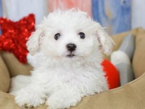 Bichon Frise-DOG-Female-White-