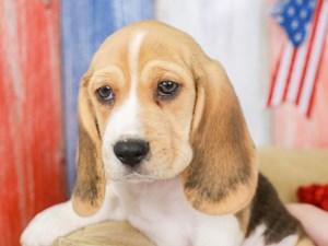 Beagle-DOG-Male-lmn & wh-