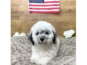 Miniature-Poodle-DOG-Male-3191636