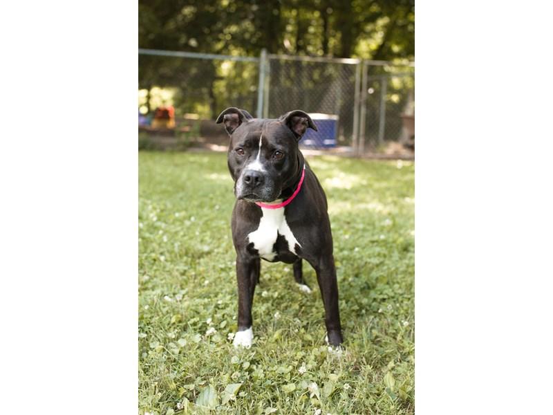 Pit Bull-DOG-Female-Black, White-1583984-img3