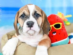 Beabull-DOG-Female-tri-3211087