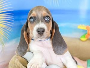 Basset Hound-DOG-Female-BLU TRI-